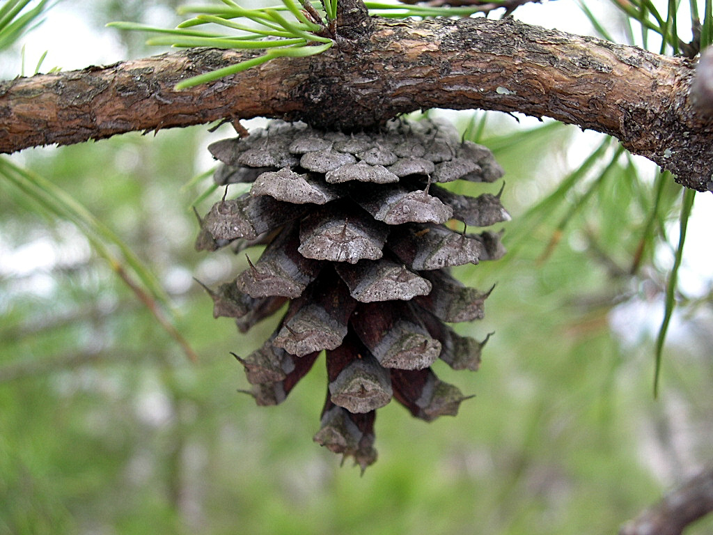 Pine cone from a Virginia Pine tree