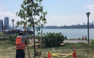 Greening Greenpoint Tree Planting