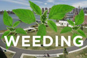 Weeding in Transmitter Park, Pigweed